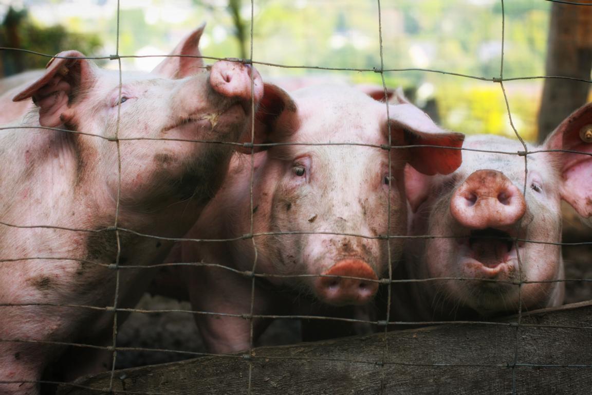 Schweine, artgerechte Haltung
