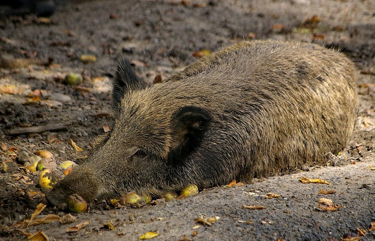 Wildschwein (Sus scrofa) in der Suhle ruhend mit Äpfeln © Johann H. Addicks/addicks@gmx.net/Creative Commons