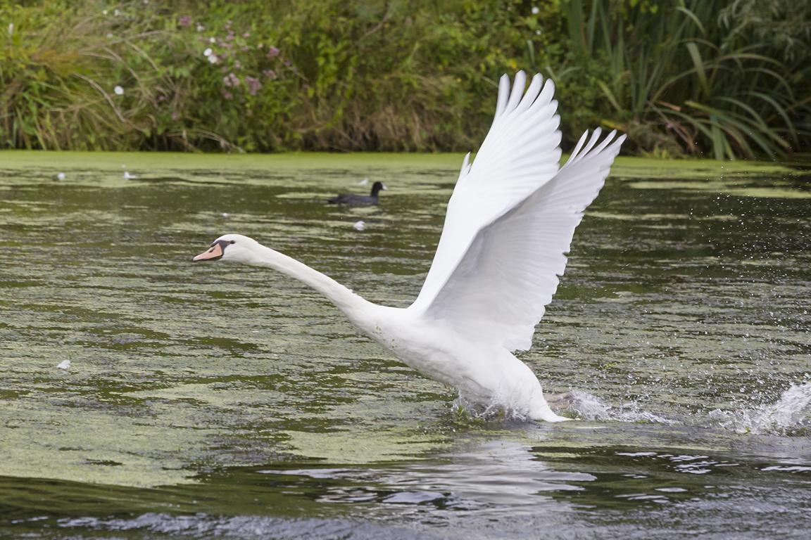 Meinerzhagen, Schwan, Fütterung von Wasservögeln, Risiken nfür Tiere und Menschen