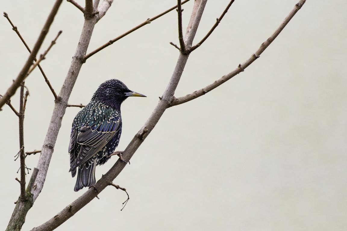 """Star, bedrohter Wintervogel <span style=""""color: #999999;"""">© Foto: NABU/Marc Scharping</span>"""